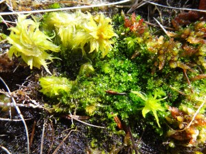 The tiny liverwort Cladopodiella fluitans dwarfed by mighty Sphagnum mosses