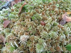 Sphagnum palustre in bog woodland