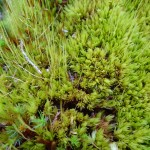 Waved fork-moss (Dicranum undulatum)